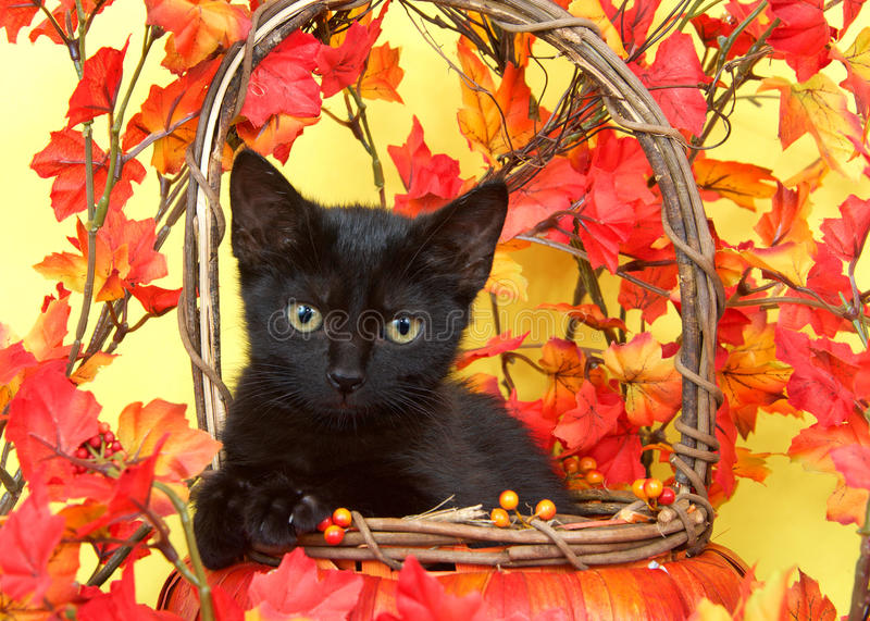 Download Black Tabby Kitten In Basket With Orange Leaves Stock Photo - Image of baby, tabby: 76717054