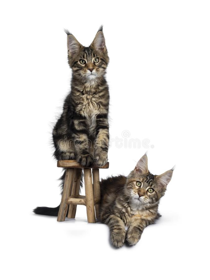 Black Tabby Tortie Maine Coon Kittens On White Stock Image Image Of Pedigree High 148839077
