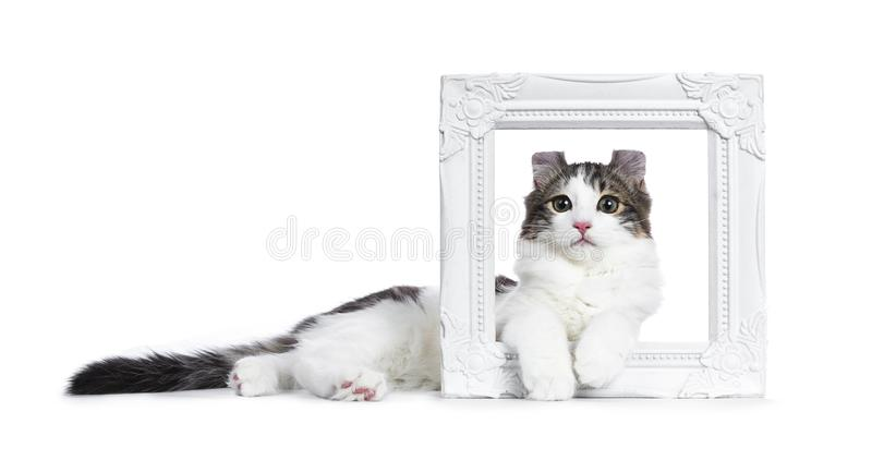 Black tabby with white American Curl cat / kitten. Laying sideways through a white photo frame isolated on white background royalty free stock image