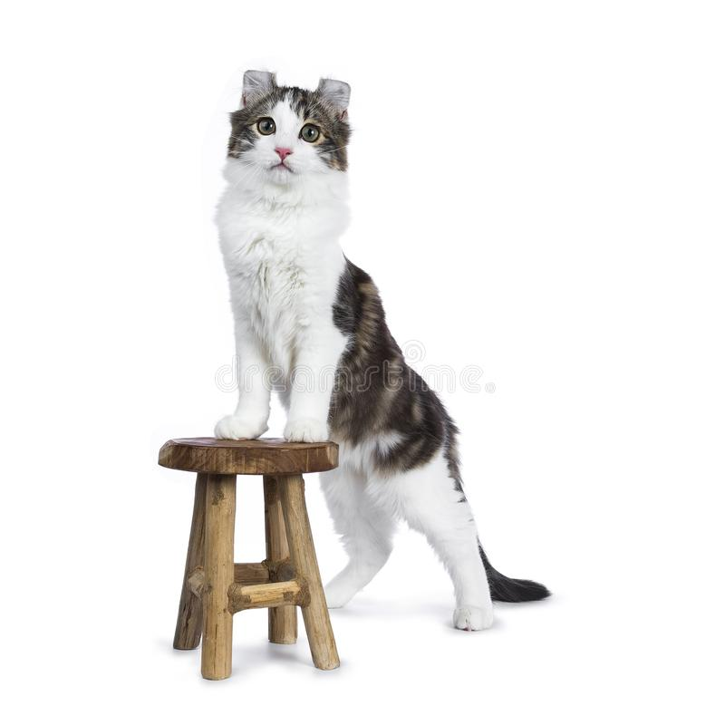 Black tabby with white American Curl cat / kitten. Standing with front paws on wooden stool facing camera isolated on white background royalty free stock photography