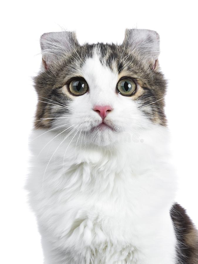 Black tabby with white American Curl cat / kitten. Head shot of black tabby with white American Curl cat / kitten looking straight to the camera isolated on royalty free stock photos