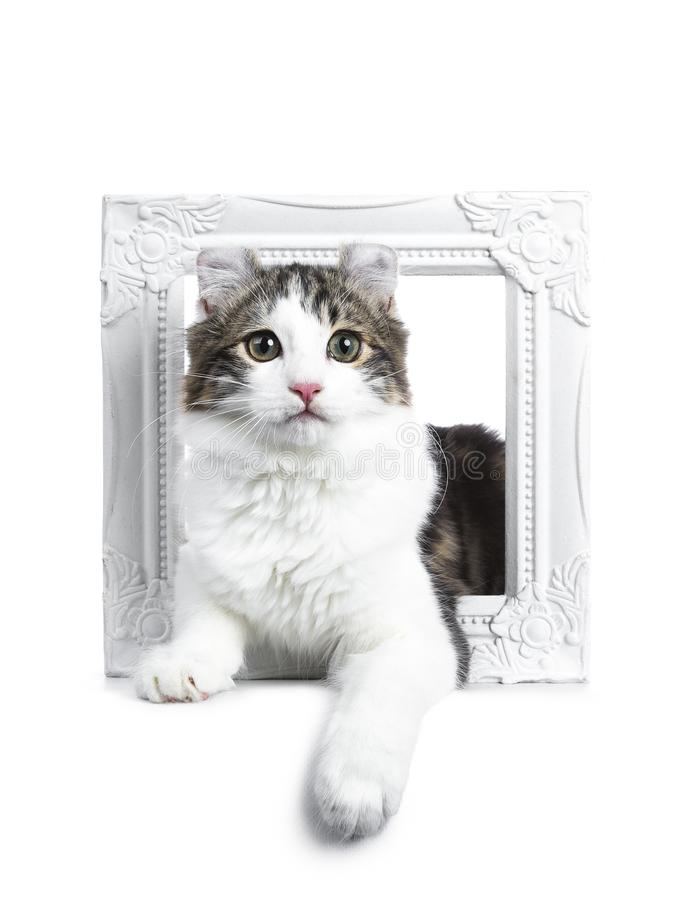Black tabby with white American Curl cat / kitten. Laying through a white photo frame looking to the camera on white background stock photo