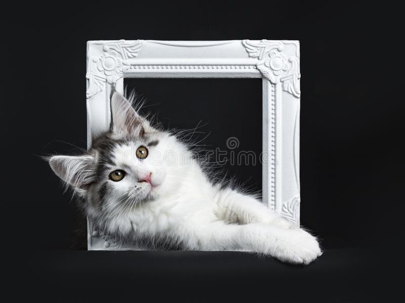 Black tabby with white Maine Coon cat. / kitten hanging horizontal through white photo frame isolated on black background royalty free stock photos