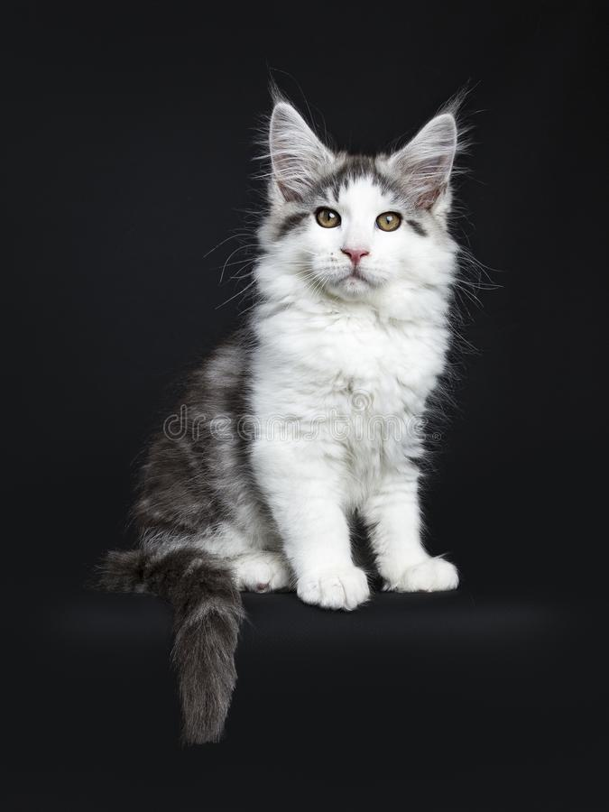 Black tabby with white Maine Coon cat. / kitten sitting isolated on black background with tail hanging over edge royalty free stock photography