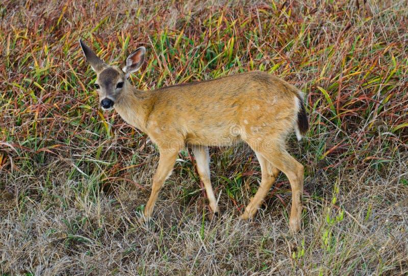 Black Tail Mule Deer. Black Tailed Mule Deer at Bodega Head Bodega Bay California stock image