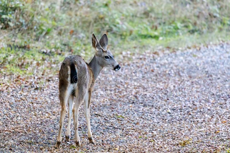 Black-tailed Deer in Alert royalty free stock image