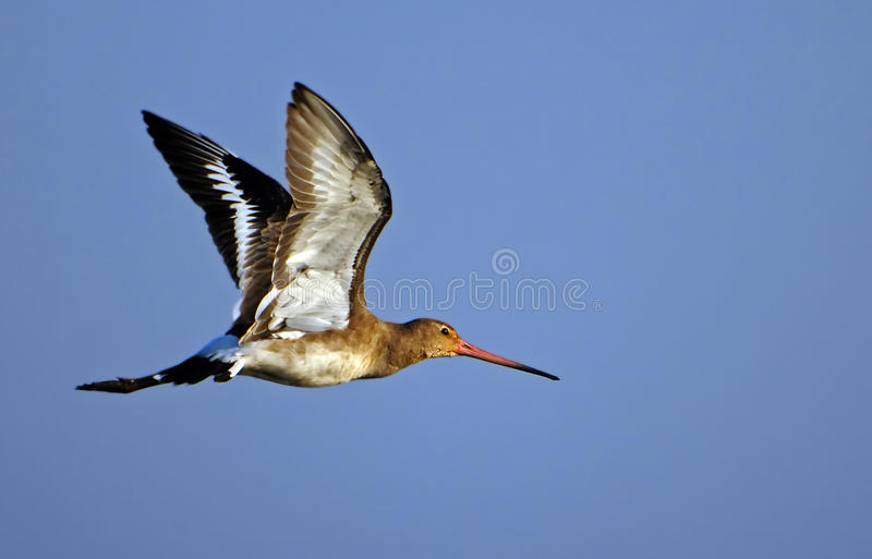 Black tailed Godwit royalty free stock photo