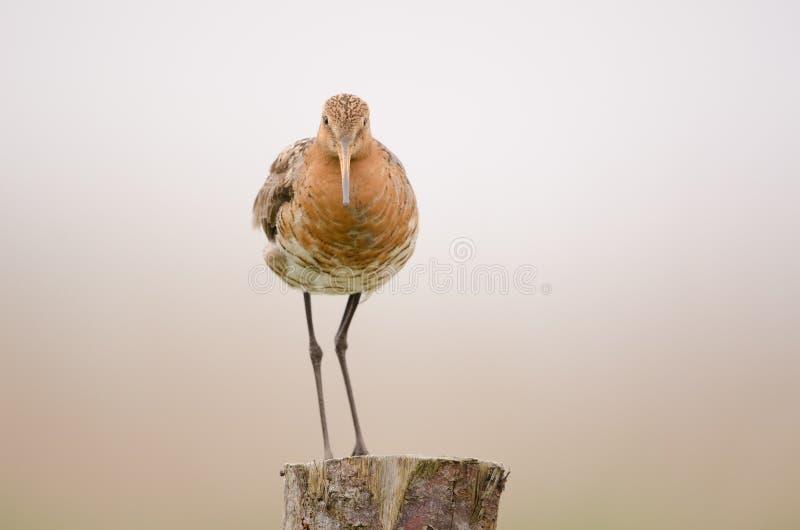 Black-tailed godwit royalty free stock image