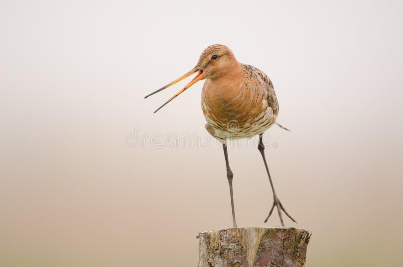 Black-tailed godwit stock photography