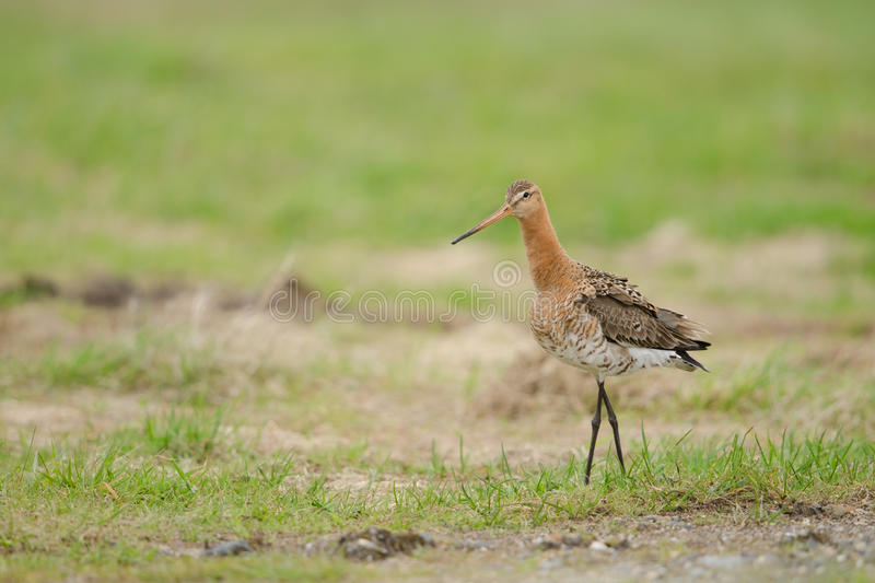 Black-tailed godwit royalty free stock photography