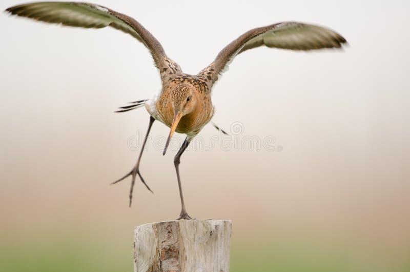 Black-tailed godwit stock image