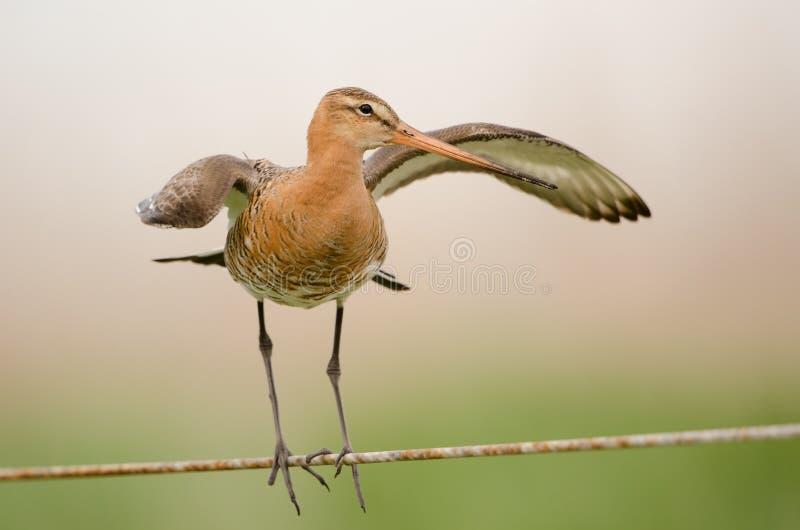 Black-tailed godwit royalty free stock photos