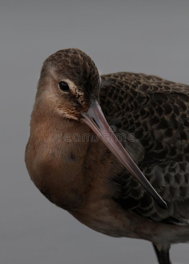 Black Tailed Godwit Acting Coy. Black Tailed Godwit photographed at Stanpit Marsh, Christchurch, UK at sunset  which can just be seen in the reflection in it`s royalty free stock photo