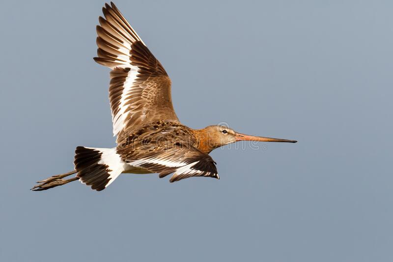 Black-tailed Godwit Limosa Limosa flying in the Netherlands. Black-tailed Godwit Limosa Limosa flying in the meadows near Rosmalen in the Netherlands stock photography