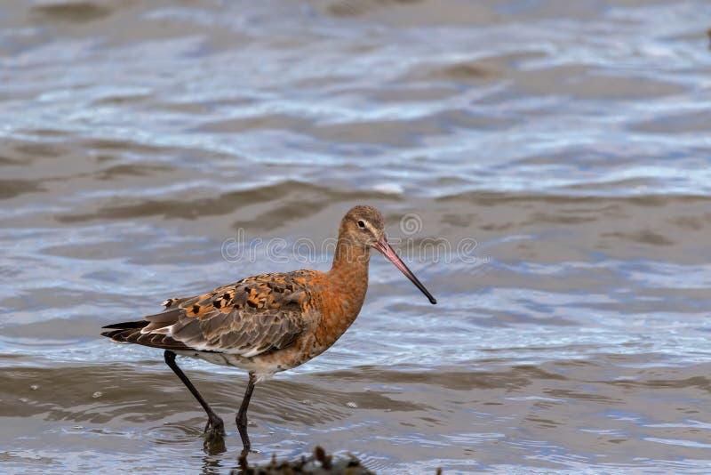 Black-tailed godwit - Limosa limosa royalty free stock images