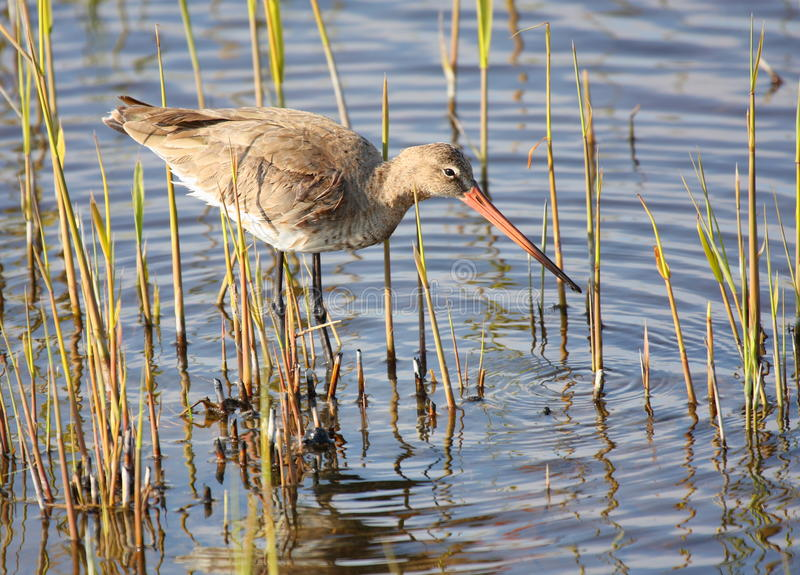 Black-tailed godwit in swamp stock images
