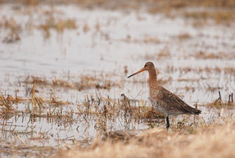 Black-tailed Godwit royalty free stock photography