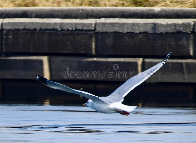 Black-Tailed Gull Flying Over Ice. This is a winter picture of a Black-tailed Gull flying over the ice at the Lincoln Lagoon located in Chicago, Illinois in Cook royalty free stock image
