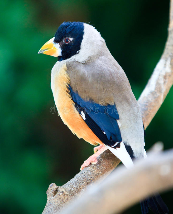 Download Black tailed Hawfinch stock photo. Image of coccothrausies - 20077646