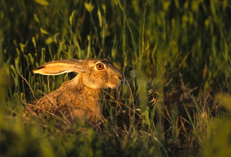 Download Black-tailed Jackrabbit In Grass Stock Image - Image: 16243095