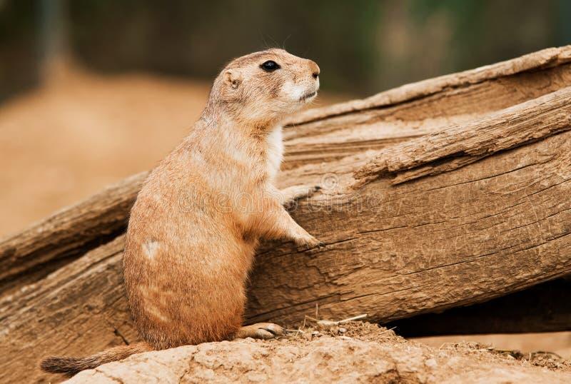 Download Black-tailed prairie dog stock image. Image of brown - 20206891