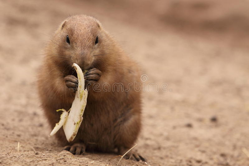 Download Black-tailed prairie dog stock photo. Image of animal - 21251934