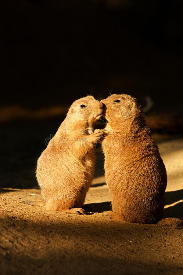 Free Black-tailed Prairie Dog Royalty Free Stock Photography - 59312327