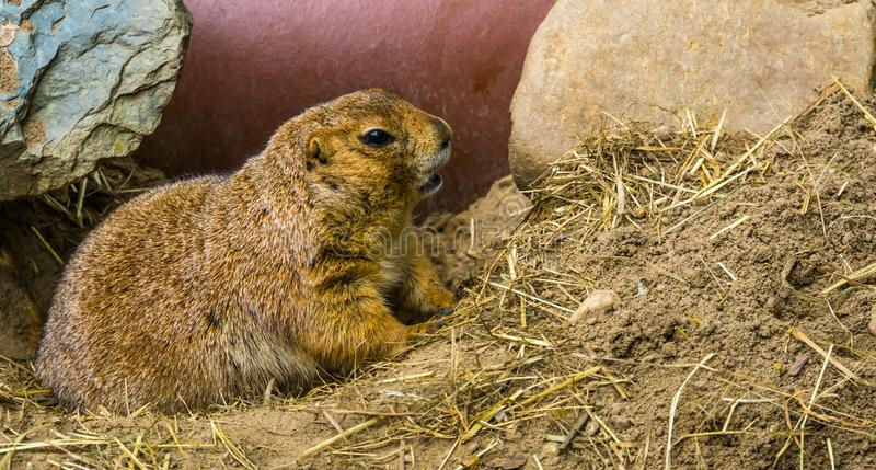 Black tailed prairie dog in closeup, adorable and popular pet, tropical rodent from America. A Black tailed prairie dog in closeup, adorable and popular pet stock photography