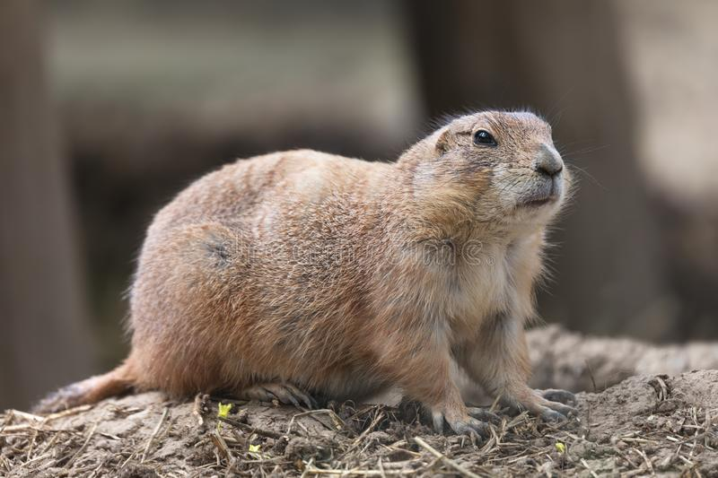 The black-tailed prairie dog Cynomys ludovicianus above ground royalty free stock image