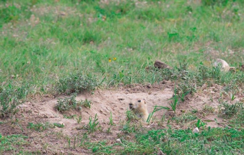 Black-tailed prairie dog Cynomys ludovicianus. royalty free stock photos