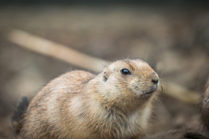Black-tailed prairie dog Cynomys ludovicianus. stock image