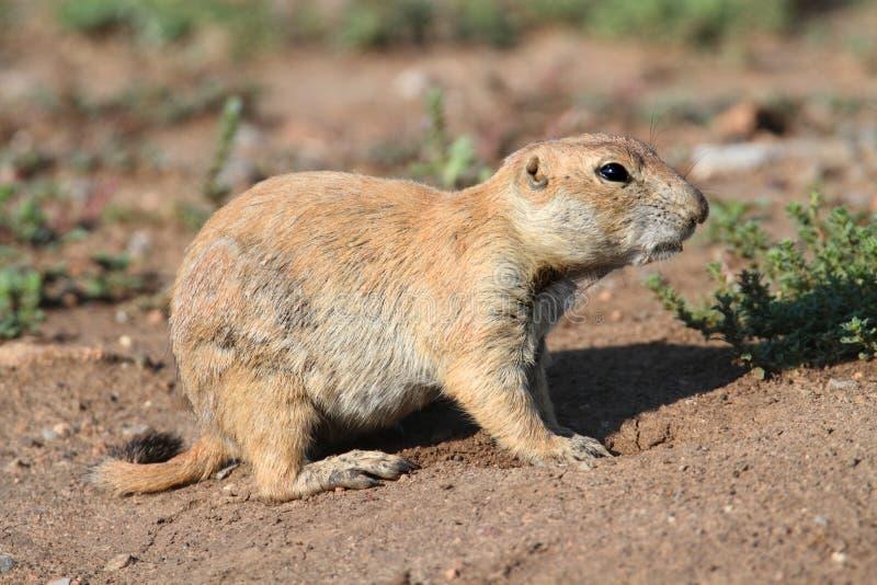Black-tailed Prairie Dog Cynomys ludovicianus stock photography