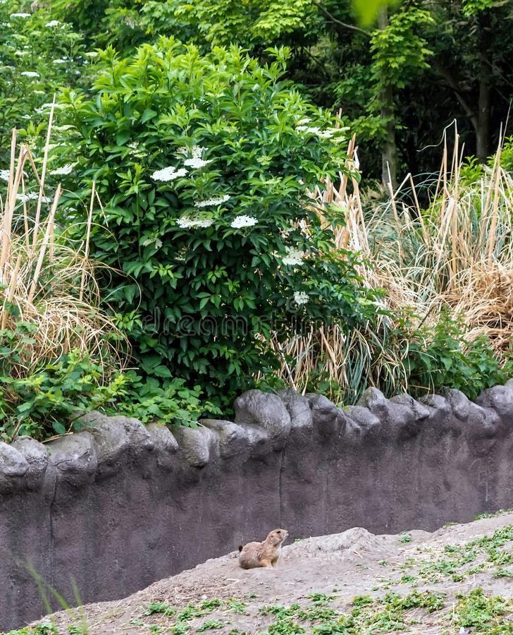 Black-tailed prairie dog Cynomys ludovicianus sitting under white flowered bush stock photography