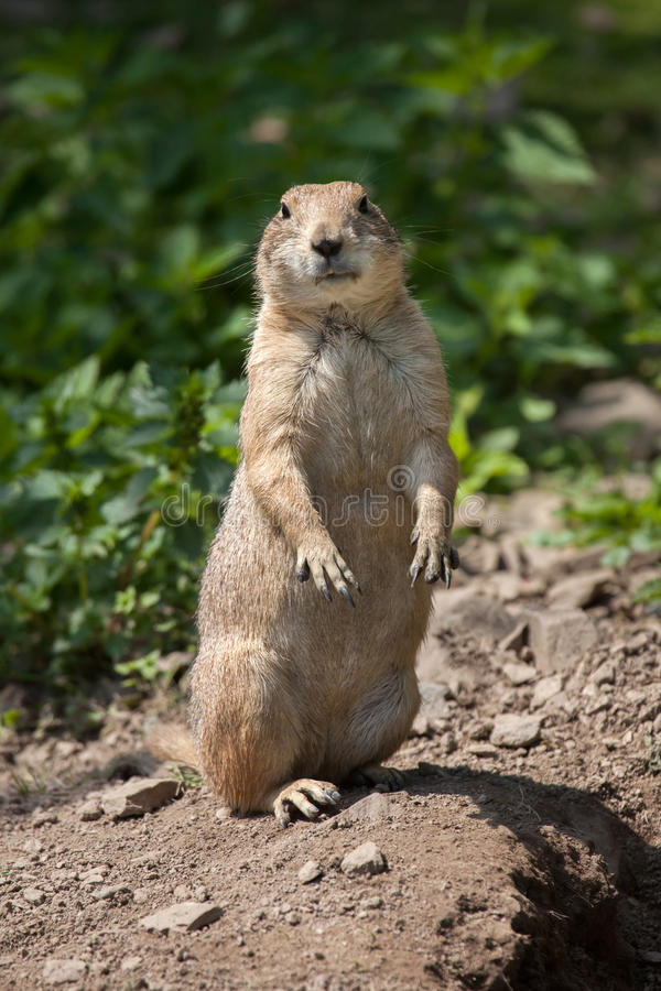 Black-tailed prairie dog Cynomys ludovicianus. royalty free stock photo