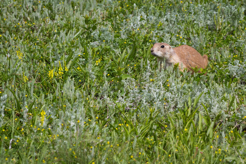 Download Black tailed prairie dog stock photo. Image of discover - 43180472