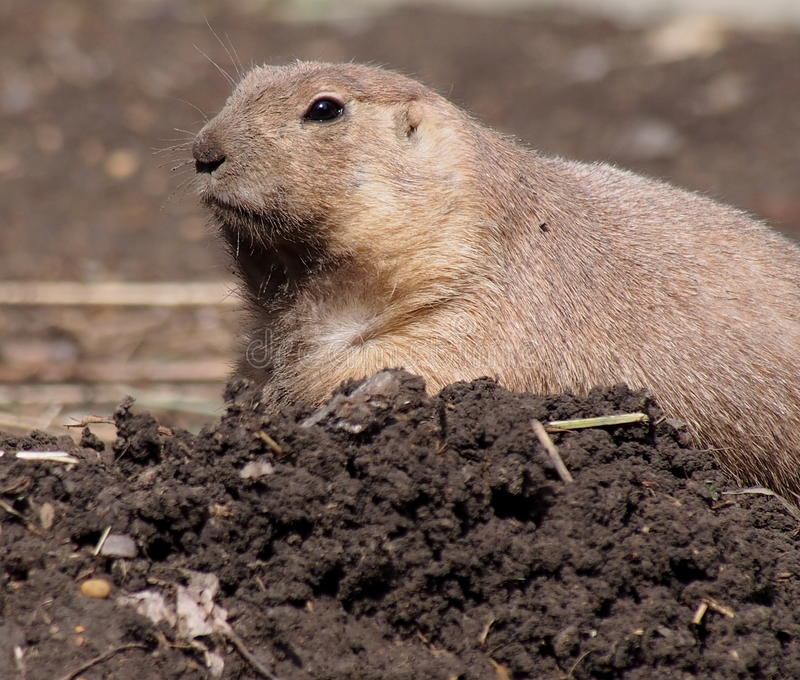 Download Black Tailed Prairie Dog stock photo. Image of gatherer - 33329130