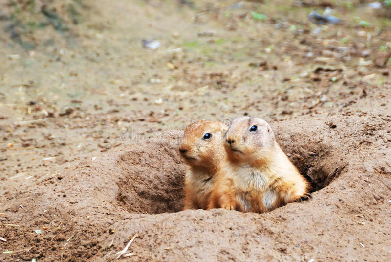 Download Black-tailed Prairie Dogs stock photo. Image of american - 10038598