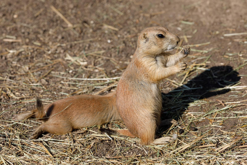 Black-tailed prairie dogs Cynomys ludovicianus stock images