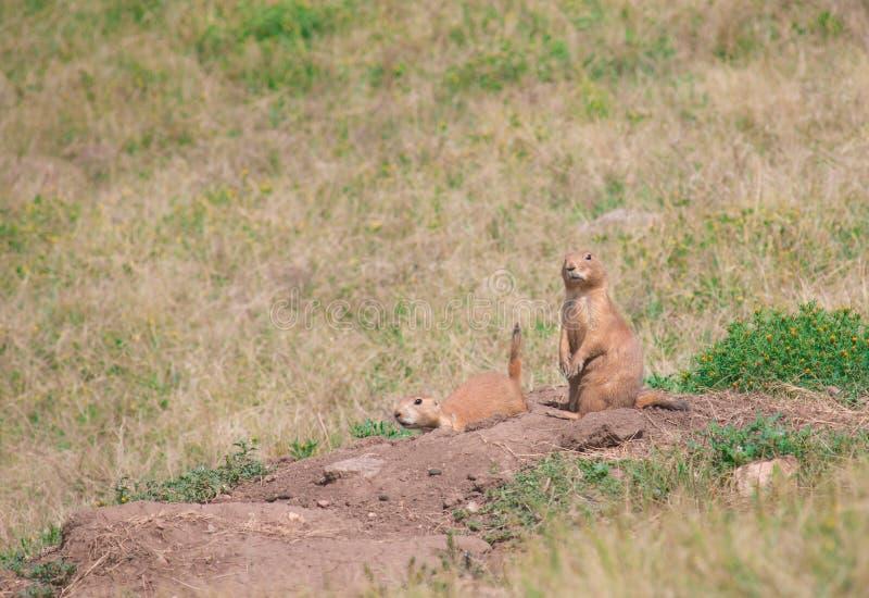 Black-tailed prairie dogs Cynomys ludovicianus. royalty free stock photo