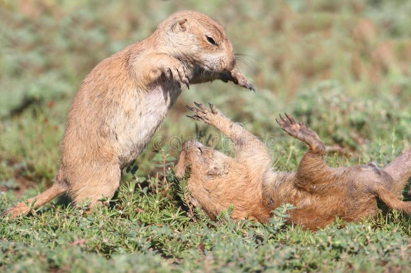 Black-tailed Prairie Dogs (Cynomys ludovicianus) stock photography