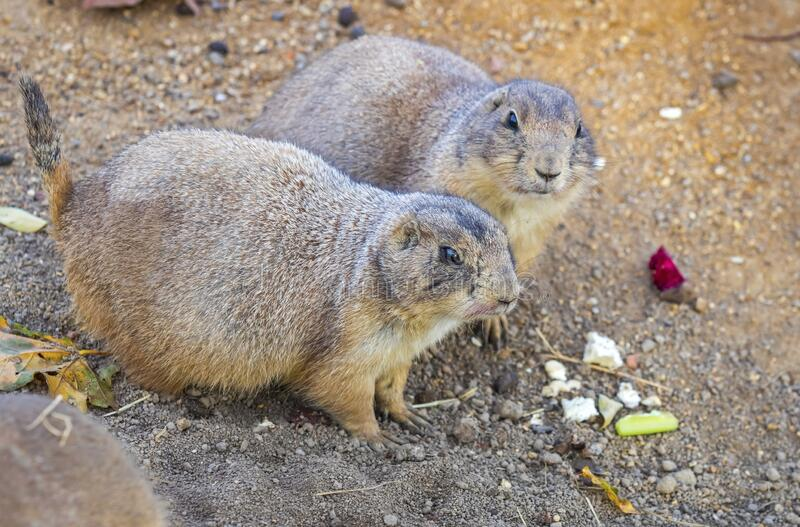 Black-tailed Prairie Dogs Cynomys Ludovicianus in wildlife stock photography