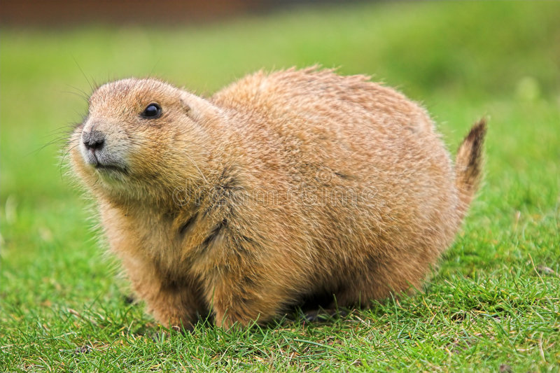 Download Black Tailed Prairie Dog stock image. Image of rodent - 2327581