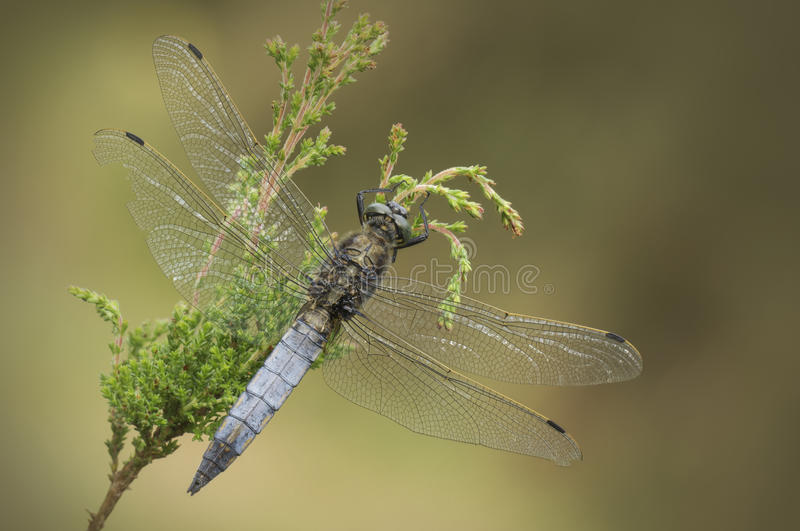 Black-tailed Skimmer Dragonfly. A mature male Black-tailed Skimmer dragonfly carrying the wing wounds of many battles with rival males. Aerial dog fights between stock images