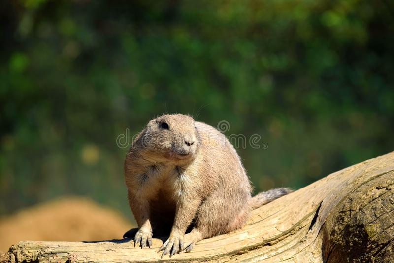 Black Tails Prairie Dog Rodent Sitting on Wooden Log fotografering för bildbyråer