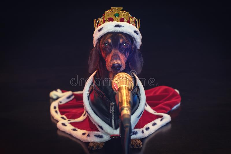 Black and tan adorable singing dachshund dog with microphone, in a royal mantle and a crown on the stage royalty free stock photos