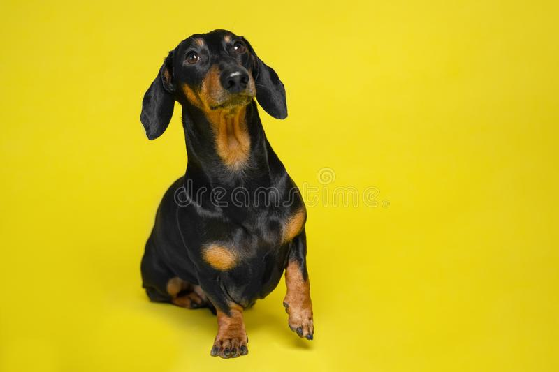 Black and tan curious cute dachshund sitting on the isolated yellow background. Dog training. Space for writing text letters stock images