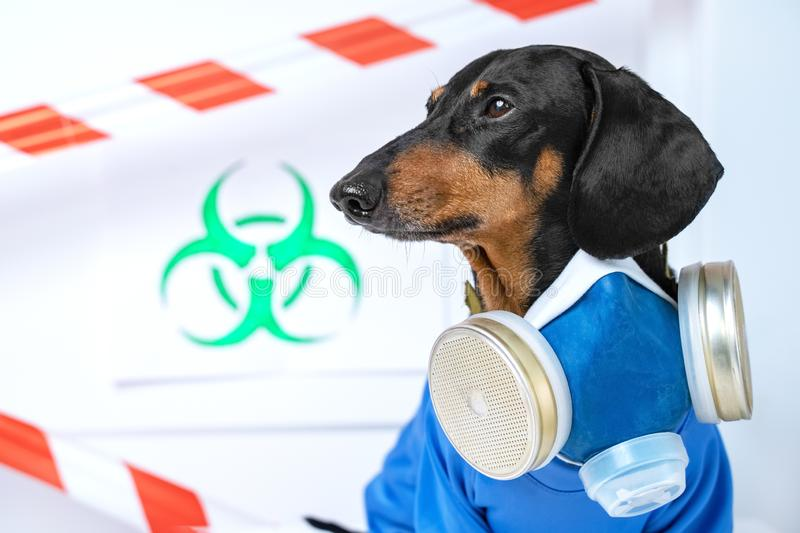Black and tan cute dachshund dog in a hazardous materials suit with self-contained breathing apparatus in the laboratory. Biohazar. D warning sign and signal royalty free stock image