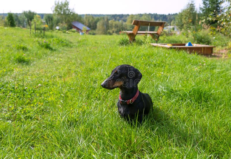 Black and tan dachshund sits in garden on grassy meadow near bench in summer royalty free stock photos