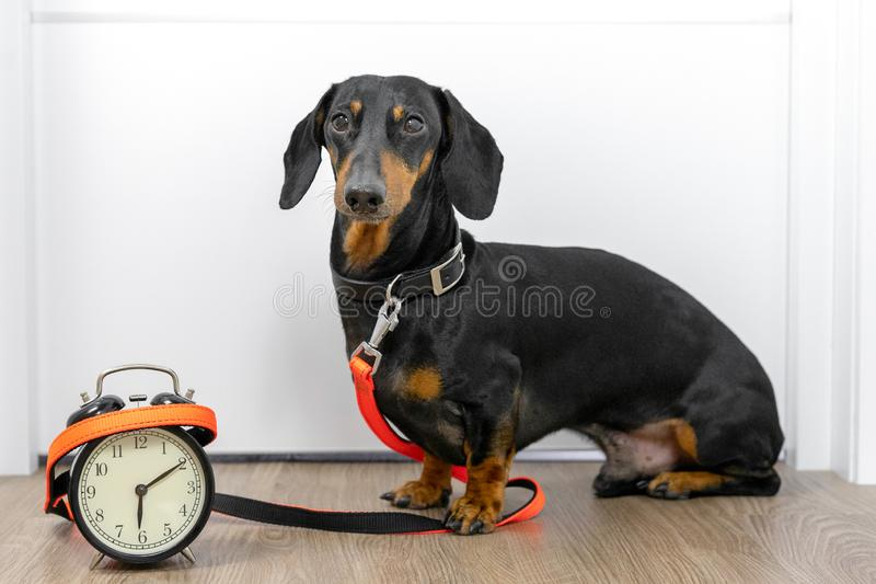 Black and tan dog breed dachshund sit at the door with a leash and alarm clock, cute small muzzle look at his owner and wait for a royalty free stock photography