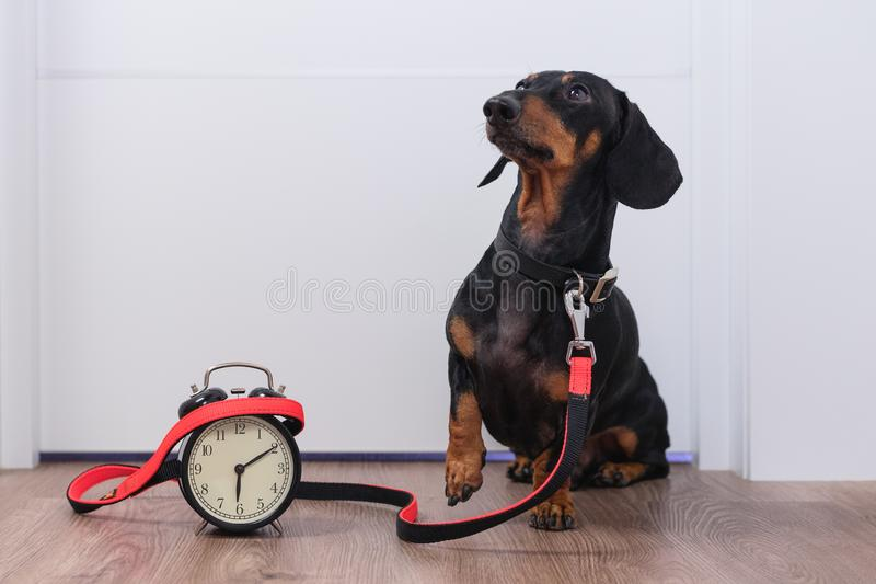 Black and tan dog breed dachshund sit at the door with a leash and alarm clock, cute small muzzle look at his owner and wait for a stock image